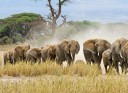 elephants_walking