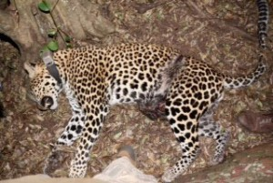 Leopard killed by a snare around it's waist. Photograph: Sam Williams