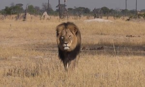 Cecil the lion in Hwange, Zimbabwe.