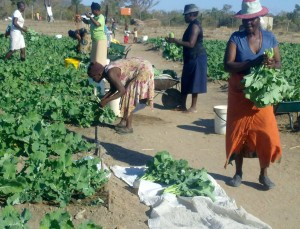 Members of the scheme doing the grading of the vegetables ready for market.