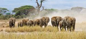 elephants_walking