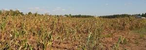 maize-dried-corn