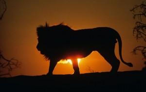 Lion+sunset+xgold