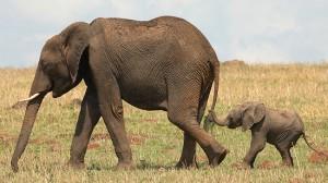 elephant-baby550
