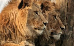 lions-550