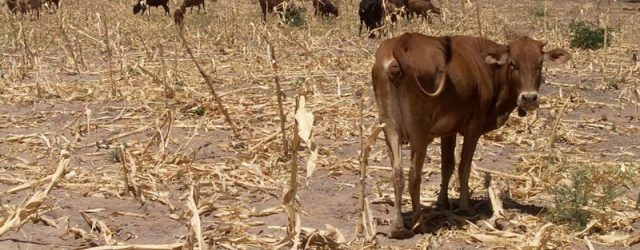 Drought – and economic woes – empty Zimbabwe's 'cattle bank'