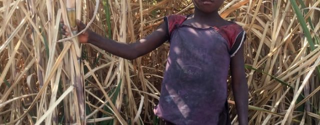 $1 a week: the bitter poverty of child sugarcane workers in Zimbabwe